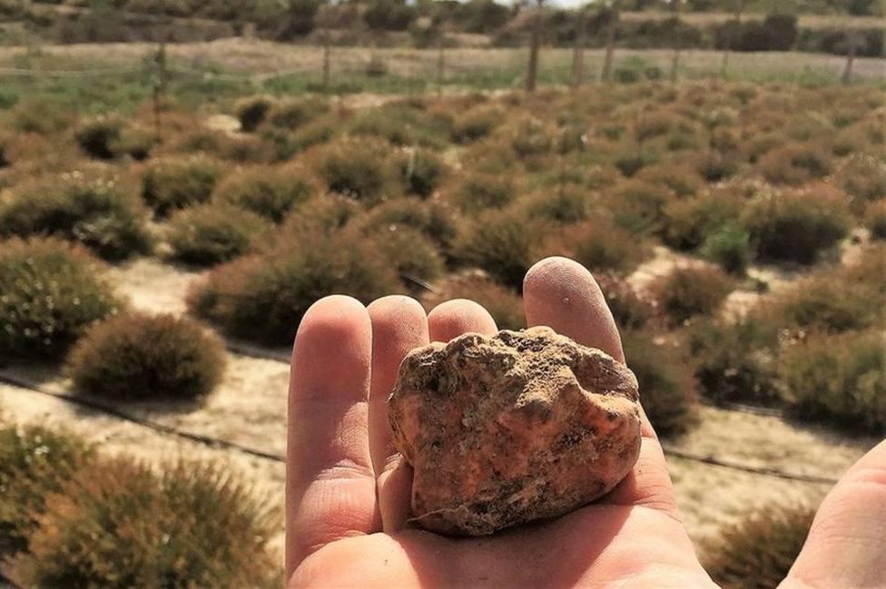 Cartagena cultivará trufa del desierto