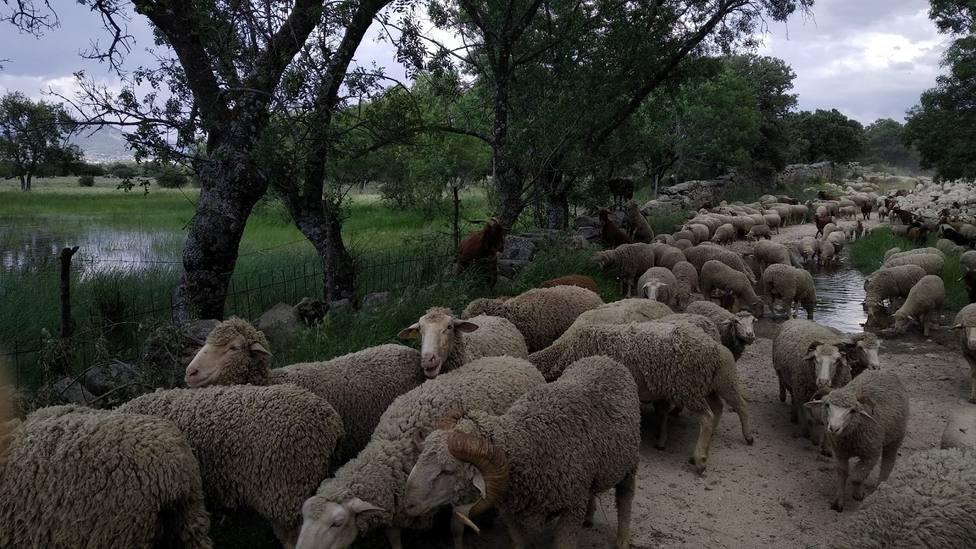 Imagen de archivo de un rebaño de ovejas atravesando Guadarrama