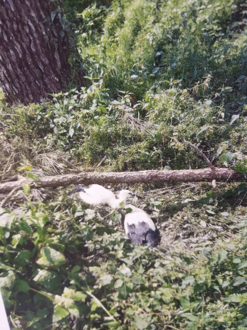 La dos cigüeñas recogidas por la Policía Local de Lugo