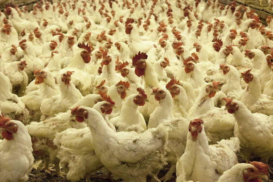 Pollos de granja