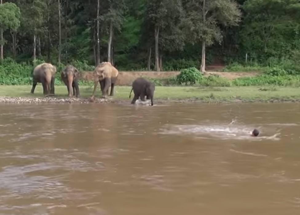 Una cría de elefante ve ahogarse a un hombre en un río y se lanza heroicamente a salvarlo