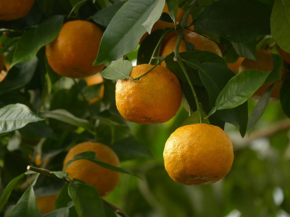 Naranjas amargas destinadas a producir energia