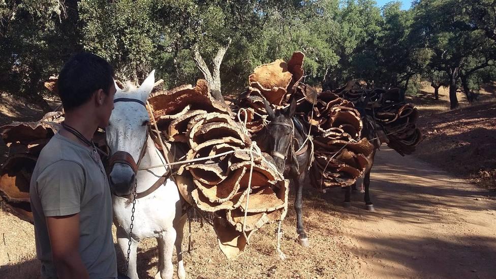 Comienza la recogida del corcho en Córdoba con precios que Asaja no ve adecuados a la calidad del producto
