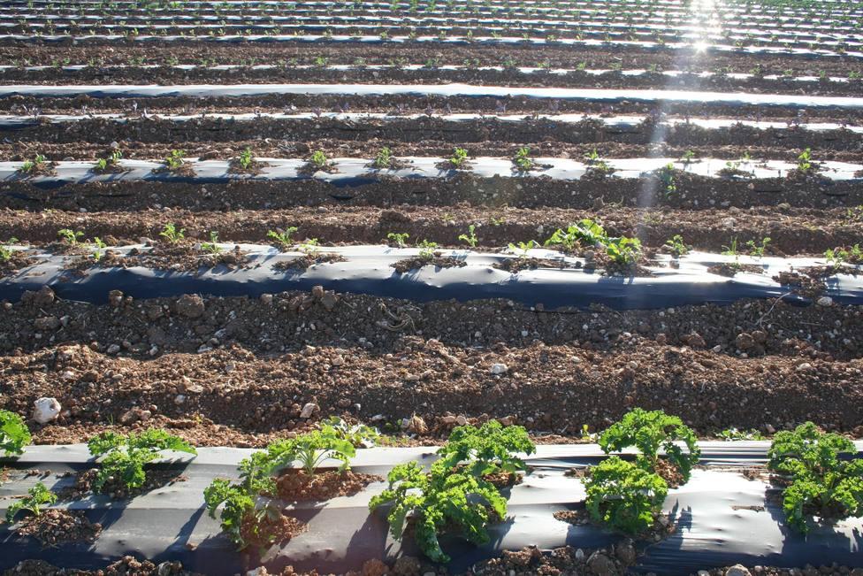 El plástico biodegradable llega a los campos de Mallorca