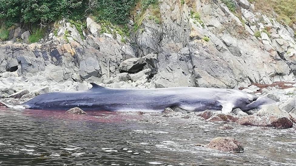 Muere una ballena de más de 16 metros