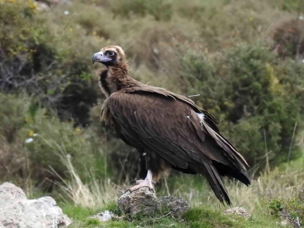 Nacen 58 pollos de buitre negro en la Reserva Nacional de Boumort (Lleida) en 10 años