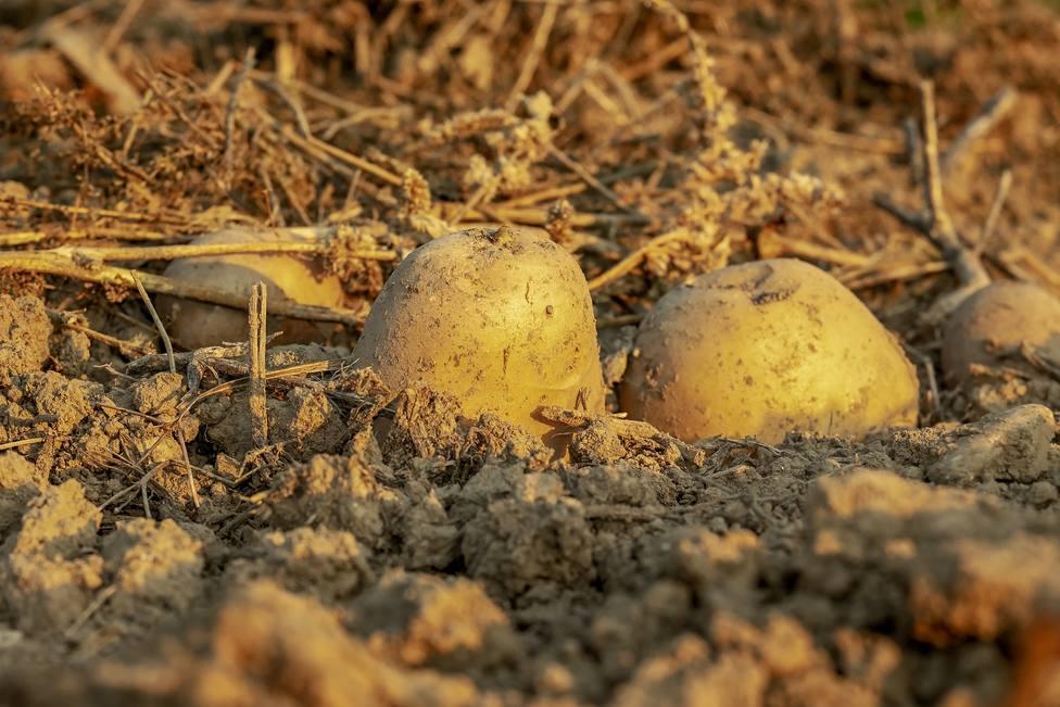 Diputación potenciará el cultivo de la patata en la Sierra de Segura