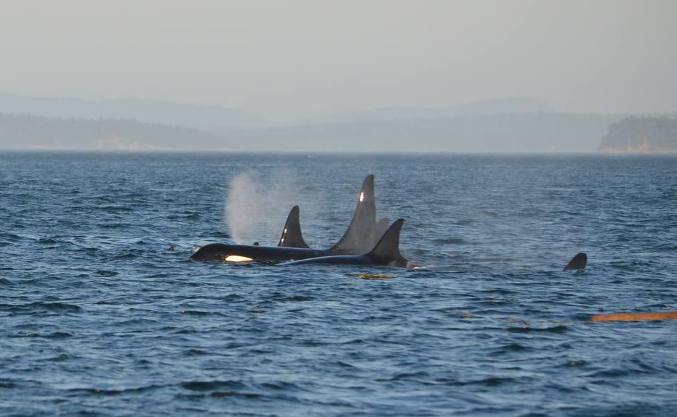 Foto de archivo de un grupo de orcas