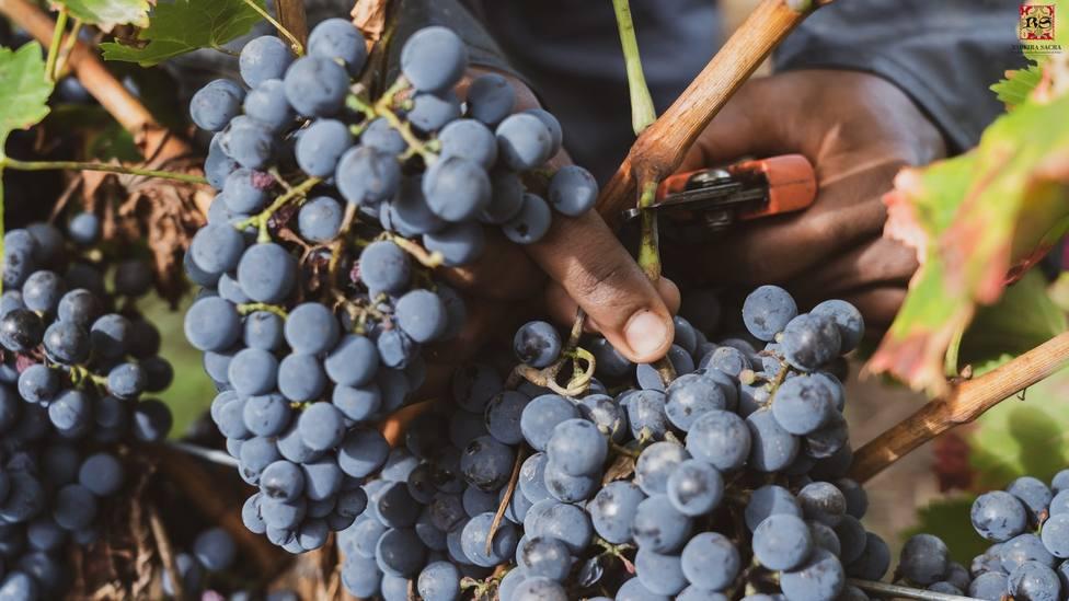 Las bodegas de la Ribeira Sacra han recogido ya más de 5 millones de kilos de uva