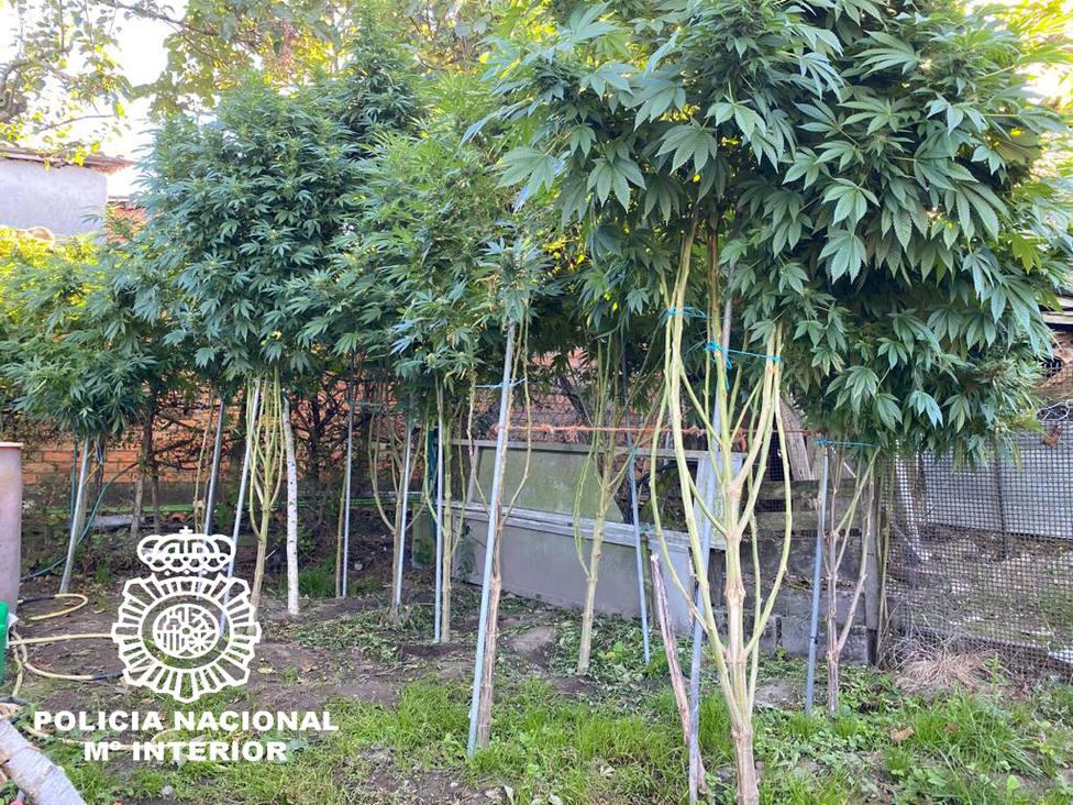 Marihuana aprehendida en Xunqueira de Espadanedo