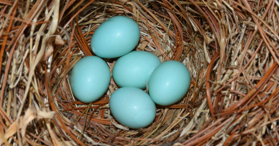 Huevos azules de gallinas Mapuche