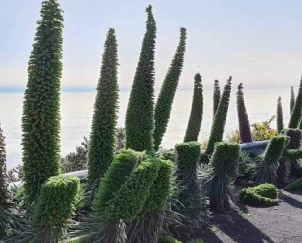 Tajinastes destrozados La Palma