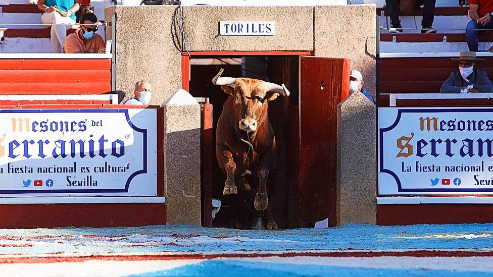 Uno de los toros de Miura lidiados el pasado año en Sanlúcar de Barrameda