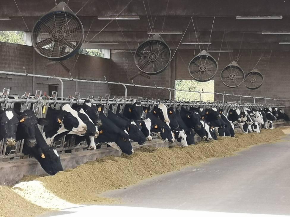Vacas frisonas comiendo en una explotación ganadera gallega