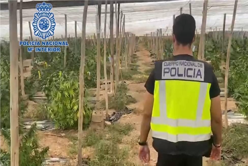 Intervienen en El Ejido más de 5 toneladas de marihuana encubiertas bajo un cultivo de cáñamo industrial