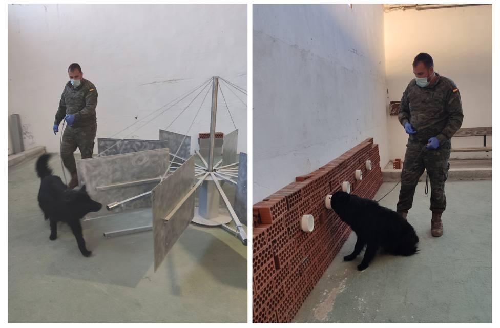 Soco, el perro del Ejército que huele la covid