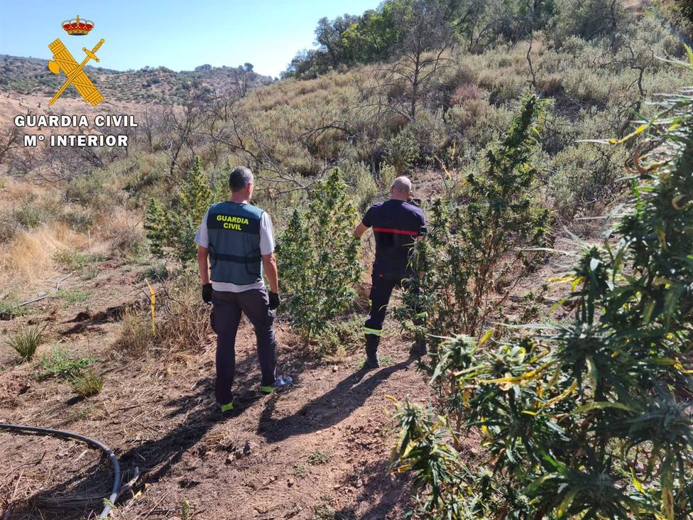 Un detenido en Montoro tras desmantelar un cultivo con 30 plantas de marihuana junto al pantano