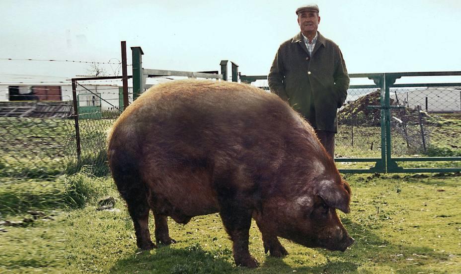 El cerdo Manolo, una mascota de casi 500 kilos