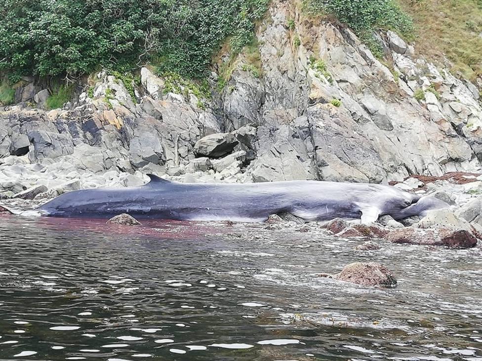 Muere una ballena de más de 16 metros en la costa de Tapia de Casariego (Asturias)