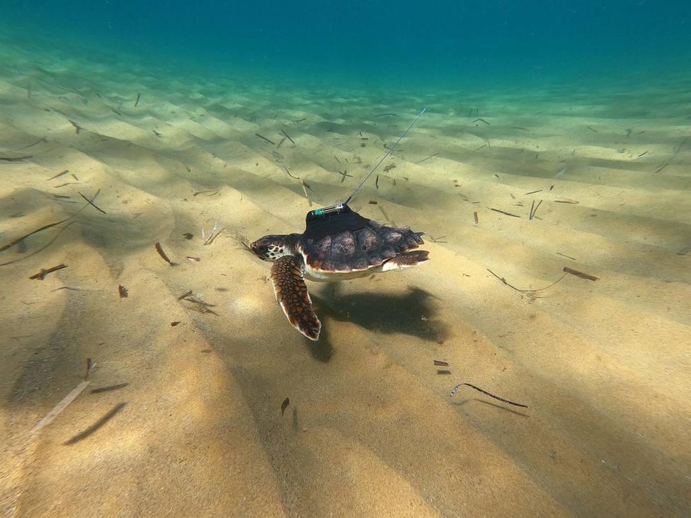 Liberan once de las tortugas nacidas en Calblanque tras un año en cautividad