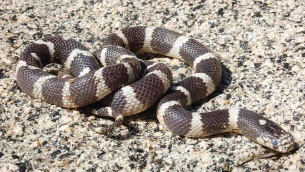 serpiente real de california gran canaria