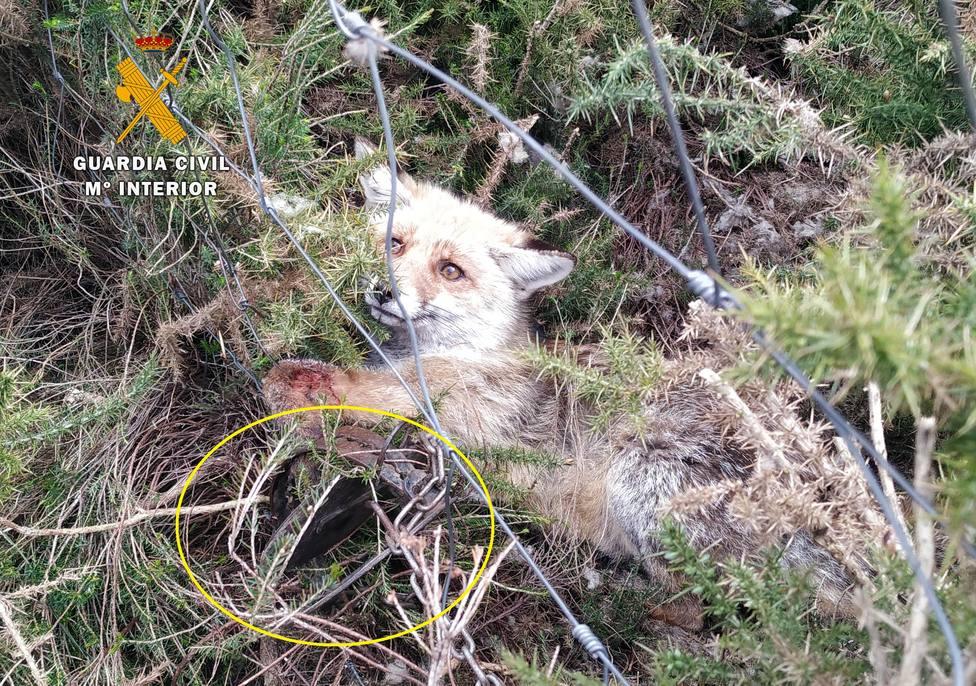 los agentes pudieron liberr a un zorro que había sido atrapado por uno de los cepos