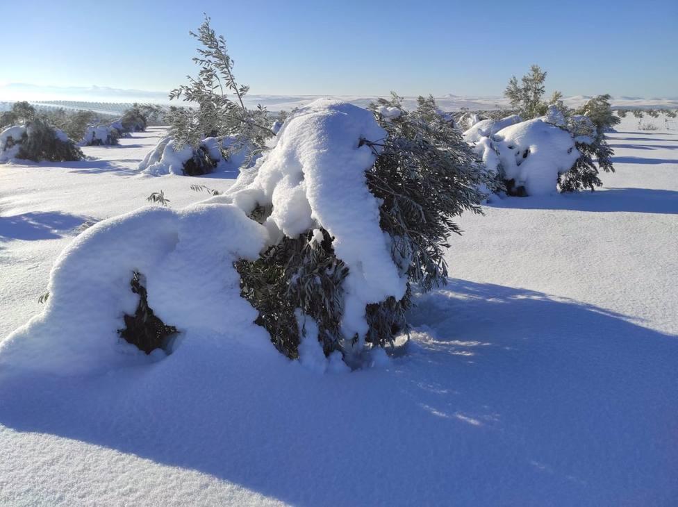 Asaja de Toledo denuncia que los olivareros con seguro aún no han podido solicitar las ayudas de Filomena