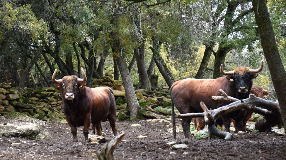 Dos de los toros de Reta de Casta Navarra que no podrán lidiarse este 2020 en Ceret
