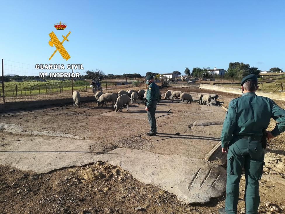 La Guardia Civil investiga a cuatro personas por un supuesto delito de estafa en la compra venta de ganado