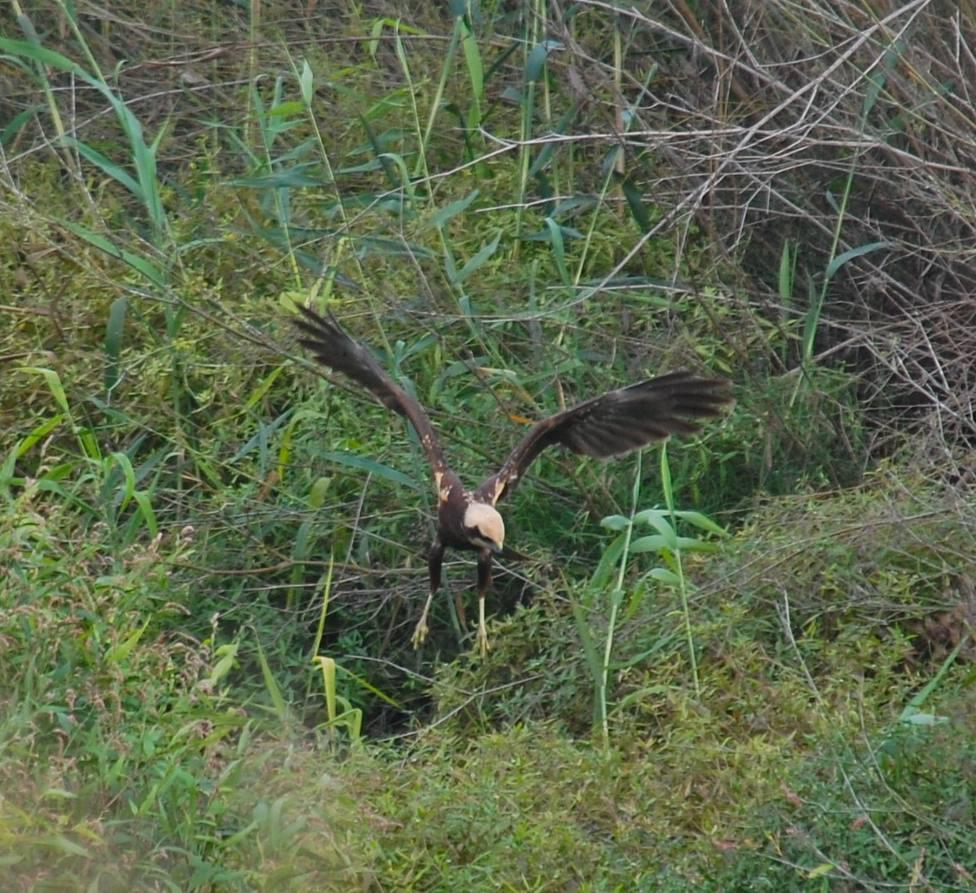 Aguilucho lagunero occidental