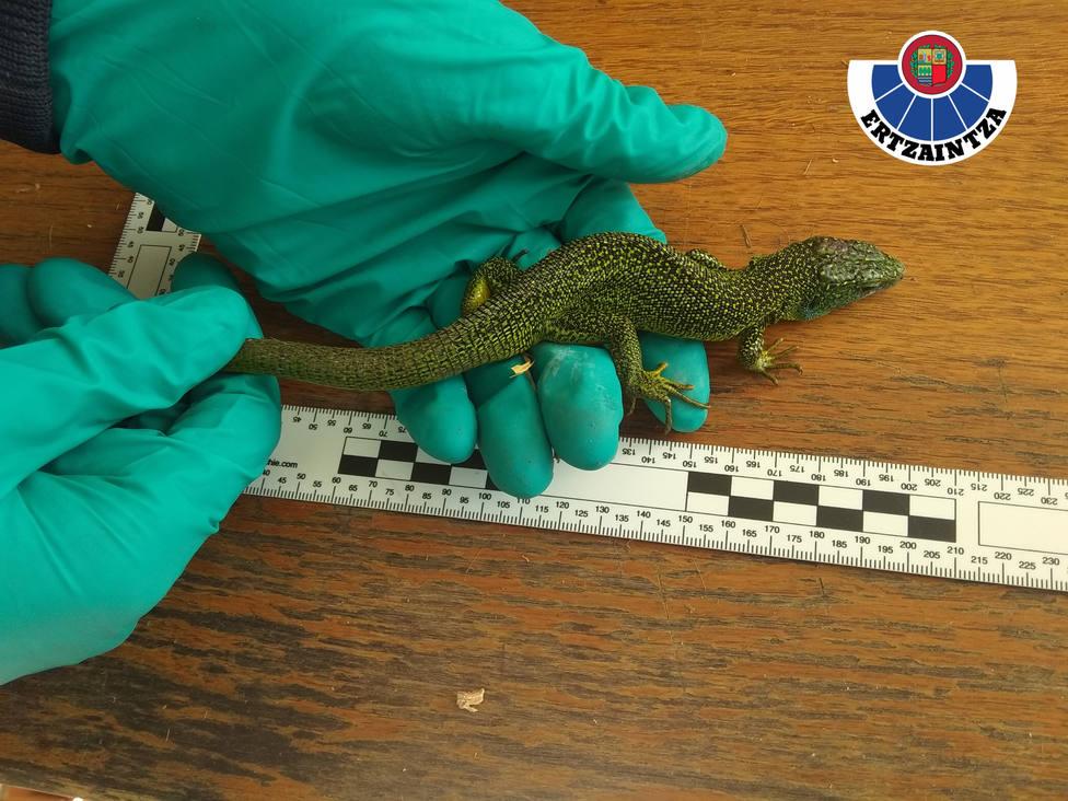 Uno de los reptiles intervenidos en la operación
