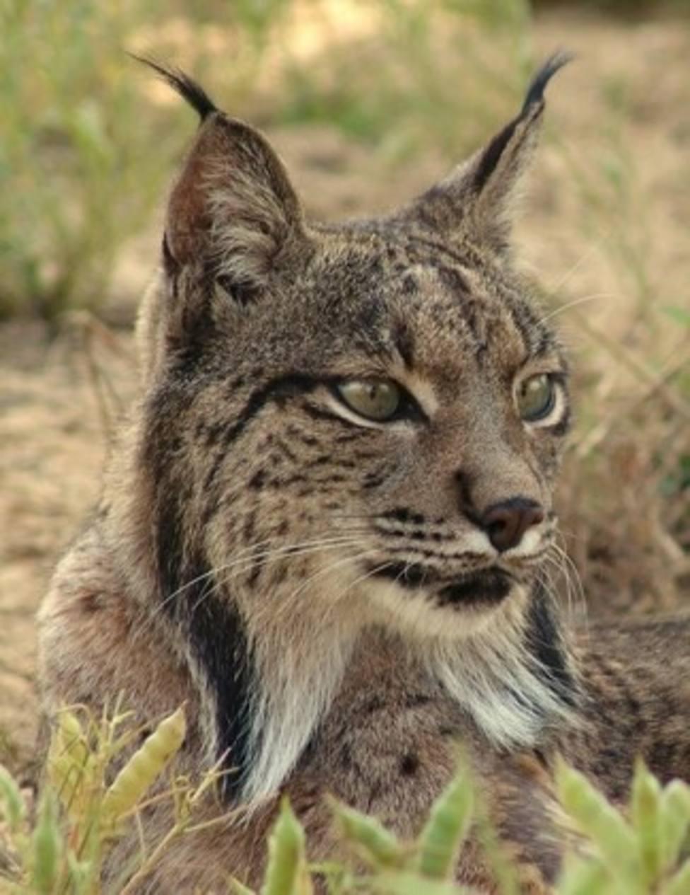 El Ayuntamiento de Lorca respalda en el proyecto 'Life Lynx Connect'