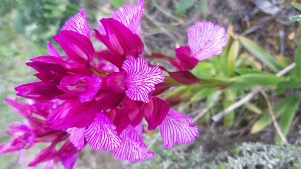 ctv-0by-orchis-papilionacea