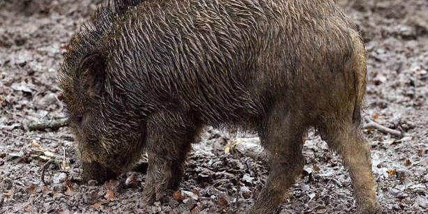 Los cazadores gallegos, preocupados por la proliferación de jabalíes