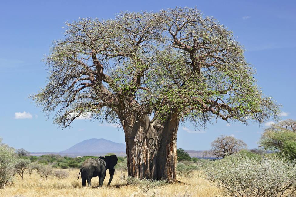 Imagen de un baobab en Tanzania