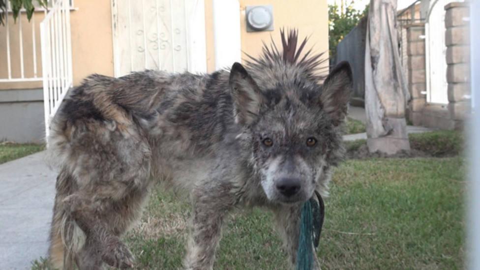 """Acoge un """"lobo"""" que ha encontrado por la calle y su verdadero origen deja a todos boquiabiertos"""