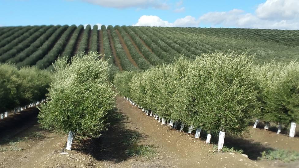 Agricultura y la Universidad de Córdoba avanzan en la obtención de nuevas variedades de olivo