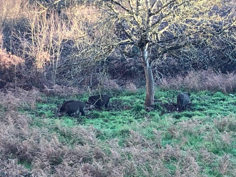 "Animalistas rechazan la ""cruel ocurrencia"" de usar a arqueros para cazar jabalíes en Lugo"