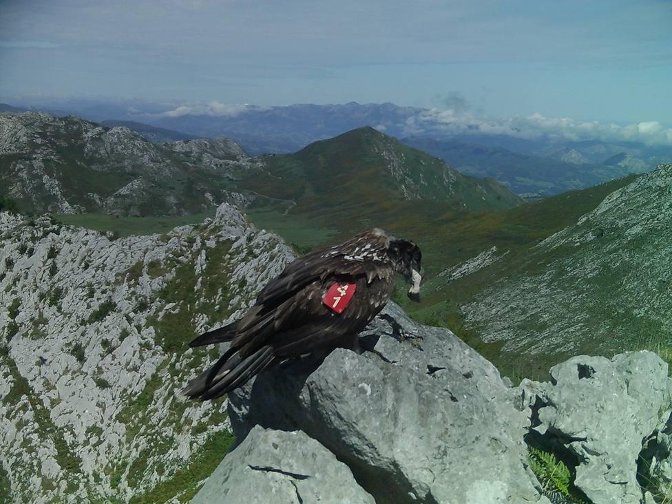 Geolocalizados en territorio cántabro este año 14 quebrantahuesos de los 29 liberados en Picos de Europa desde 2010