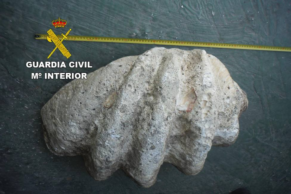 Concha de tridacna gigas, especie protegida procedente del Pacífico,