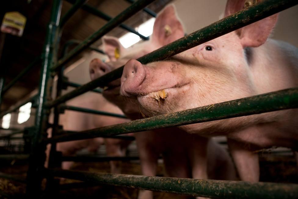 granjas de porcino