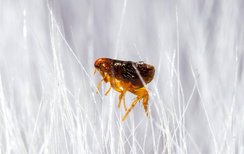 Cómo debes prevenir y eliminar las pulgas en cualquier instalación
