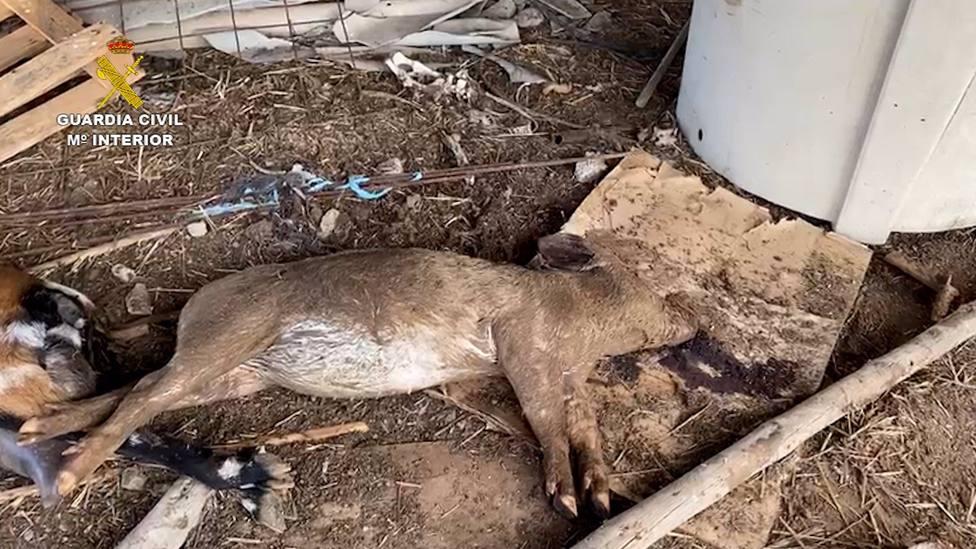 Sucesos.- Detenido por tener una explotación ganadera en Gran Canaria con 241 animales en malas condiciones