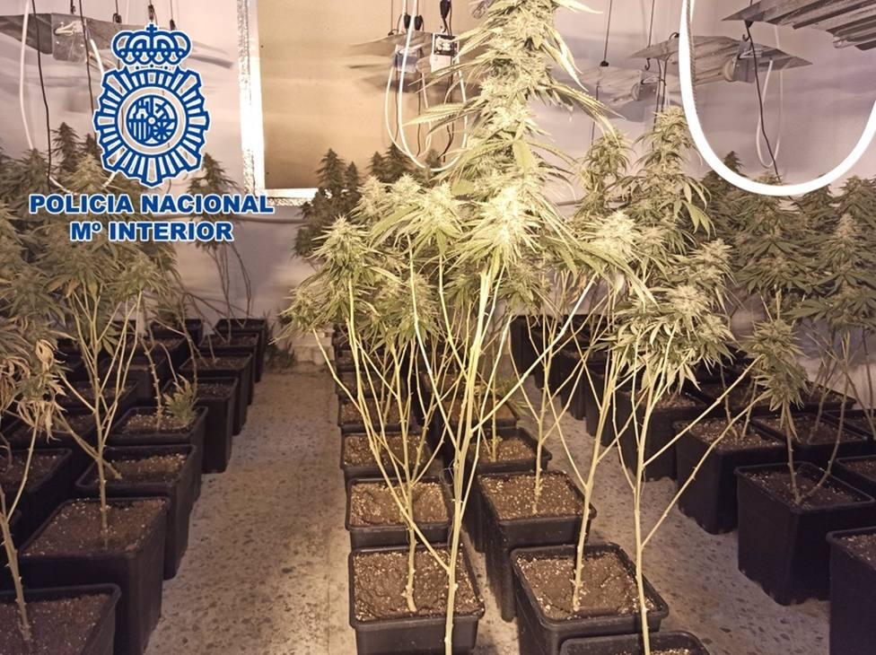 Granada.- Sucesos.- Incautadas más de 400 plantas de marihuana en el registro de tres inmuebles contiguos
