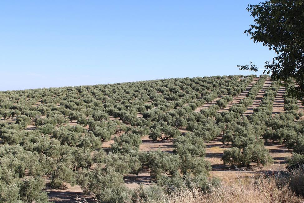 Paisaje olivarero en Martos
