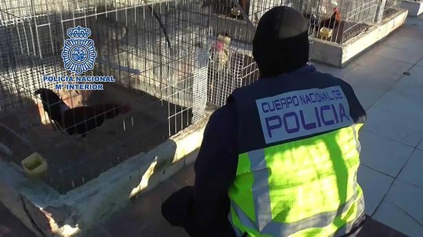 Policía Nacional detiene a 182 personas que participaban en el Campeonato Nacional de Peleas de Gallos