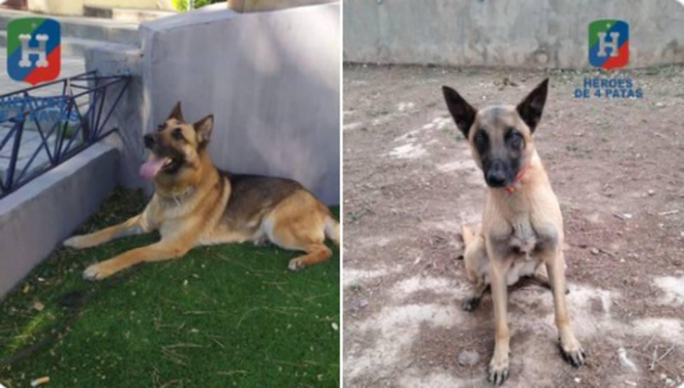 Policía Nacional busca familias para dos de sus héroes con cuatro patas que se jubilan