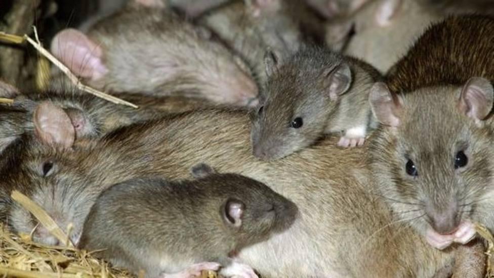 """UU.AA pide """"presupuesto"""" para paliar las pérdidas por la plaga de ratas en Lugo"""