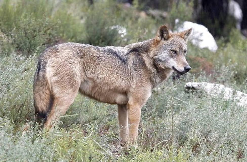 Foto de archivo de un lobo - FOTO: Efe / Mariam A. Montesinos