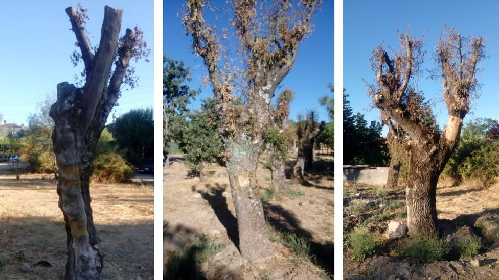 Aspecto actual de los árboles trasladados